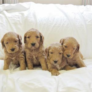 Golden Doodles
